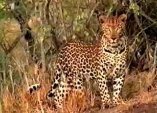 Kinky cheetah fucking its prey in da woods